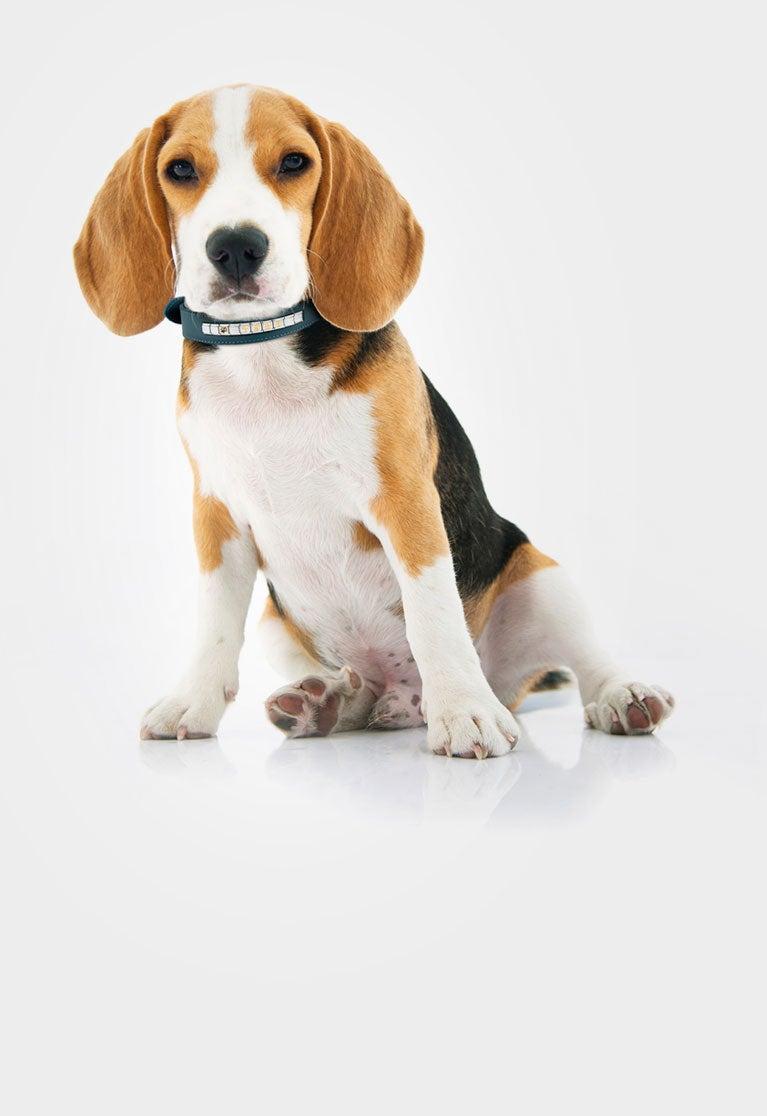 Colliers en cuir pour chiens